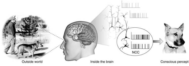 NeuralCorrelatesOfConsciousness1.jpg |Date= 6 December 2007 |Author= Fmorm